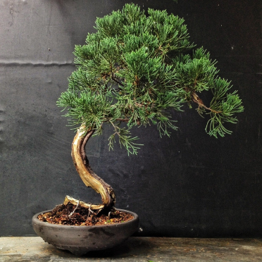 Image of a Juniper